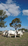 003 young grey brahman bulls