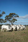 004 young grey brahman bulls