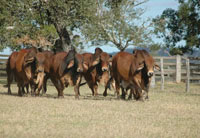 005 24-30 months old red brahman bulls