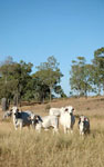 009 Grey brahman cows and calves