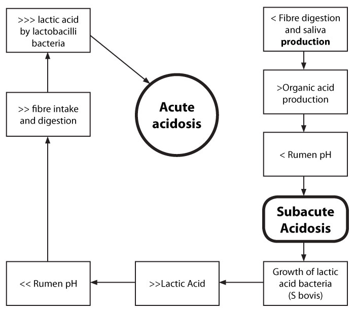Diagram 1: Process of Acute and Subacute Acidosis