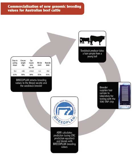 Commercialisation of new genomic breeding values for Australian beef cattle