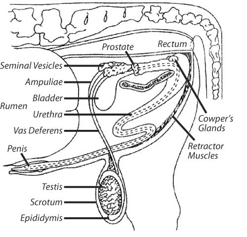 Figure 1: the reproductive tract of the bull